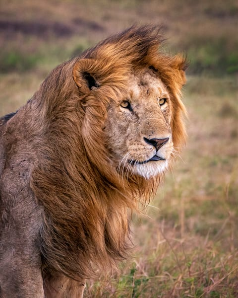 A Lion's Mane Photography Art | Carol Brooks Parker Fine Art Photography