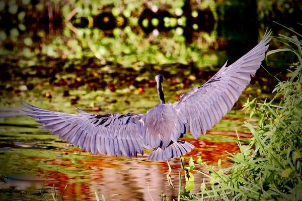 Great Blue Heron  Photography Art | CJ Harding