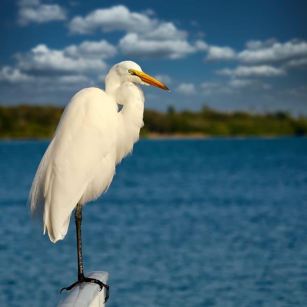 Great White Egret Photography Art | CJ Harding