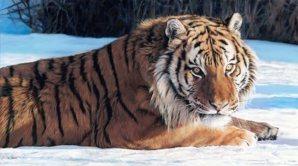 Cold_Stare_Tiger