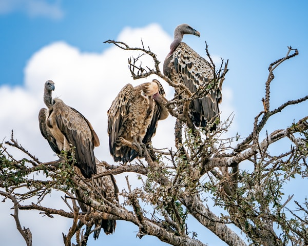 African White Backed Vultures In A Tree Photography Art | Carol Brooks Parker Fine Art Photography