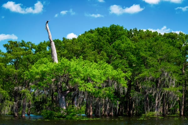 Not Dead Yet - Louisiana swamp fine-art photography prints
