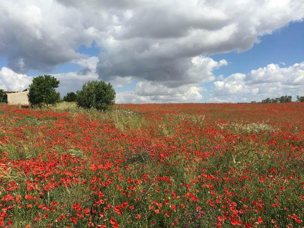 'poppy Field' Ii  Bovino, Apulia, It Art | Cera Arts