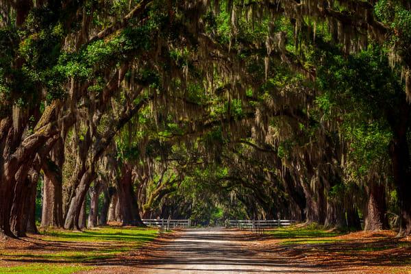 Wormsloe's Avenue of Oaks II
