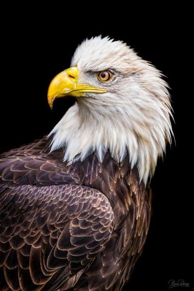 Bald Eagle Photography Art | brucedanz