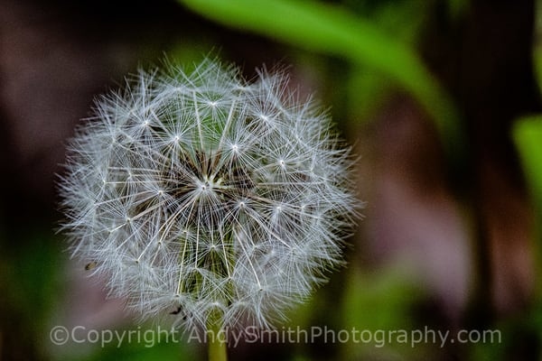 fine art photograph of Dandelion Puff
