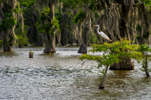 Keeping Watch - Louisiana swamp fine-art photography prints