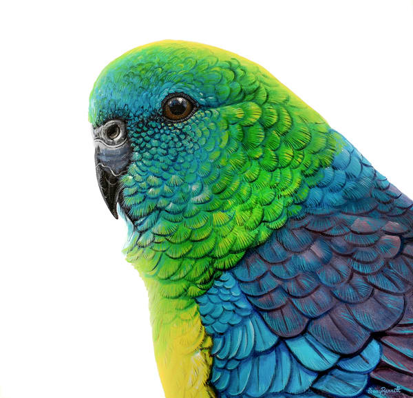 Rueben - Red-rumped Parrot