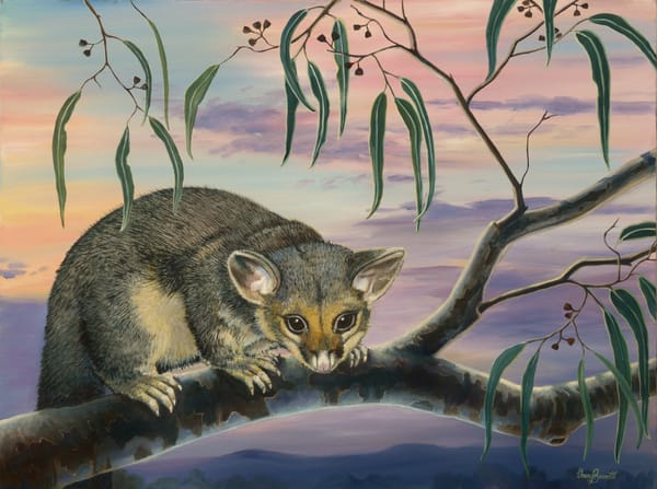 Common Brushtail Possum - Purple Dusk