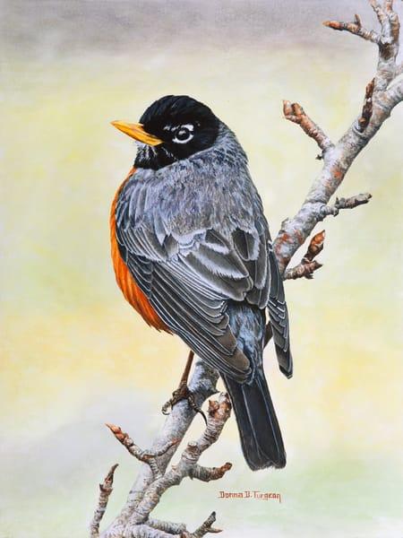 American Robin  Art   artalacarte