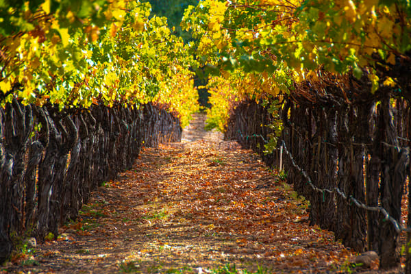 California Napa Valley Vineyard Photographs – Grapevine Fine Art Prints on Canvas, Paper, Metal & More