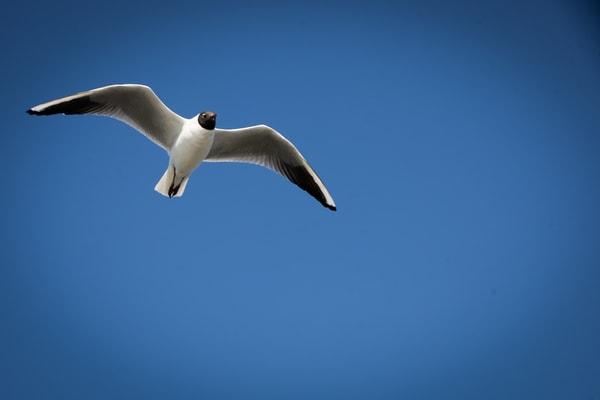Dutch Countryside Black-headed gull photography   Eugene L Brill