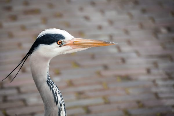 Dutch Countryside photography blue heron   Eugene L Brill