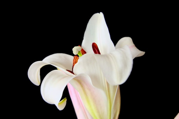 White Lily #3 Photography Art | CJ Harding