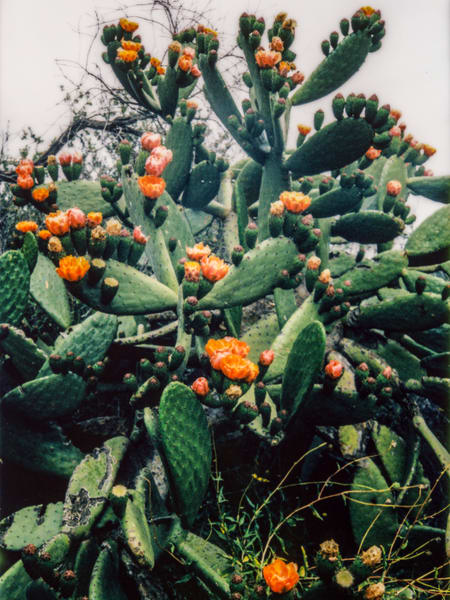 Prickly Pear Bloom Photography Art | Julian Whatley Photography