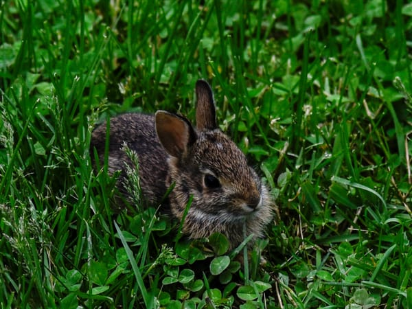 Baby Bunny Hiding In The Clover Photography Art | N2 the Woods Photography - Nature and Wildlife Artwork