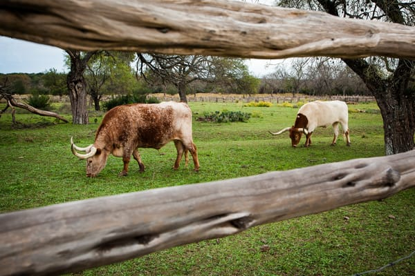 Longhorns Behind The Fence Photography Art | Michael Penn Smith - Vision Worker