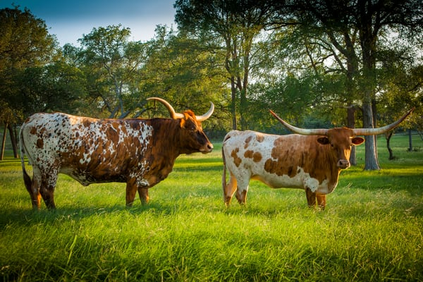Pair Of Longhorns Photography Art | Michael Penn Smith - Vision Worker