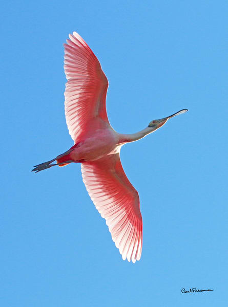 Roseate Spoonbill Photography Art | Drew Smith Photography, LLC