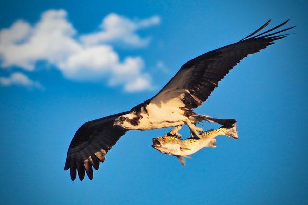 Osprey & Fish Photography Art | CJ Harding