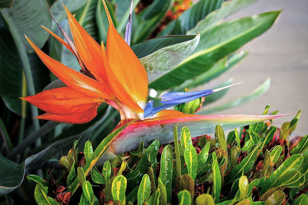 Flowers, Bird-of-Paradise, Florida