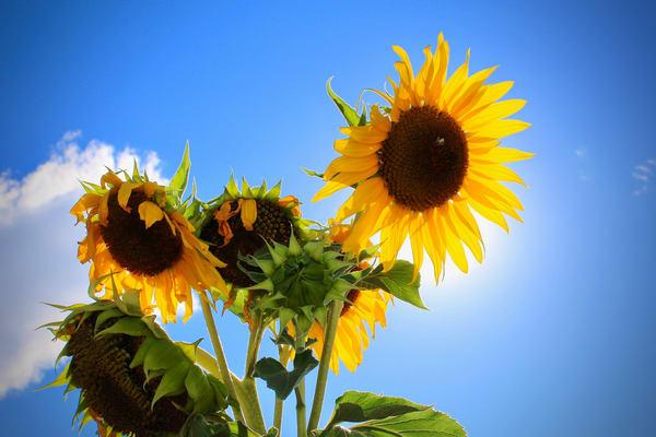 Sunflowers Photography Art   CJ Harding