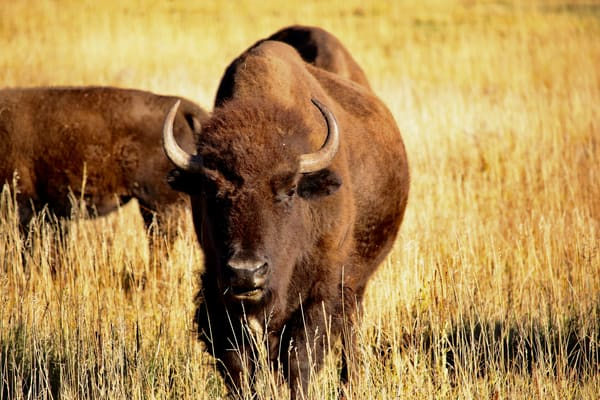 Bison In  Photography Art | CJ Harding