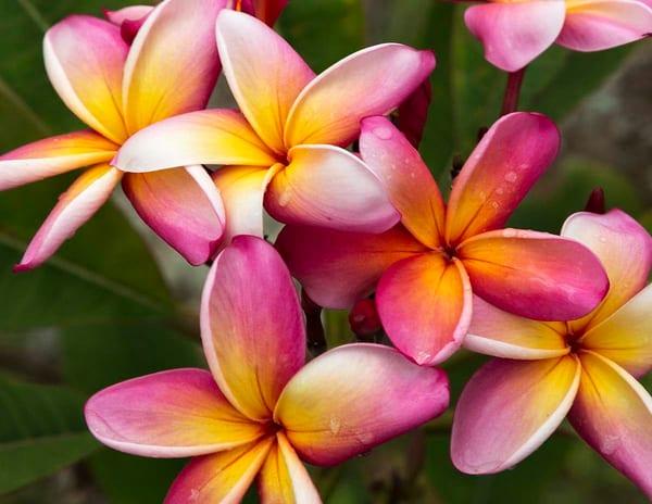 Plumeria Flowers Photography Art | Inspiring Images