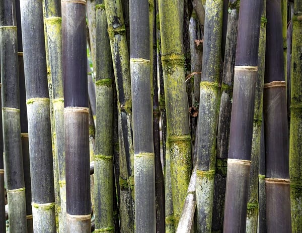 Black Timor Bamboo 1 Photography Art | Inspiring Images