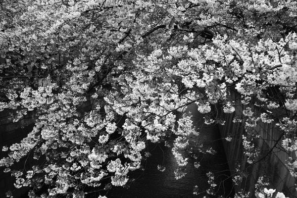 Cherry Blossom Festival Meguro Canal Japan Photograph – Zen B&W Photography - Fine Art Prints on Canvas, Paper, Metal & More