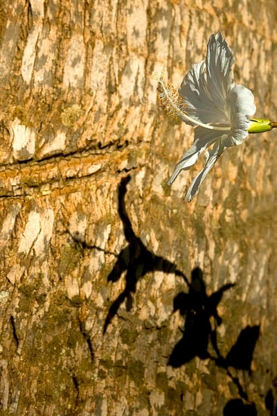 Hibiscus Shadow Photography Art | Inspiring Images