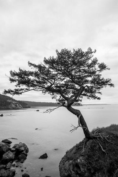 Tree, Rosario Head, Deception Pass State Park, Washington, 2015