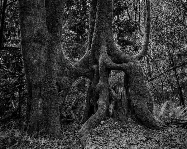Tree Roots, Kopachuck State Park, Washington, 2020