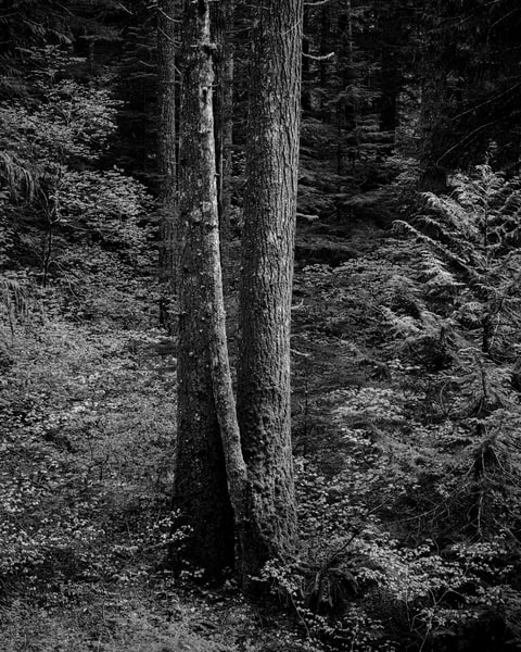 Trees, Gifford Pinchot National Forest, Washington, 2019