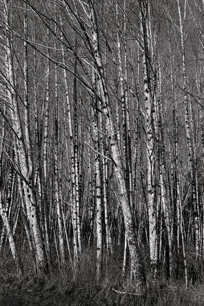 Winter Forest, Skokomish Valley, Washington, 2017