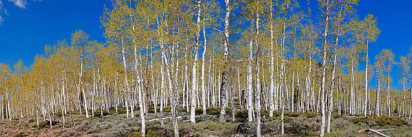 Pando Aspen Pine Grove Photography Art | Art in Nature