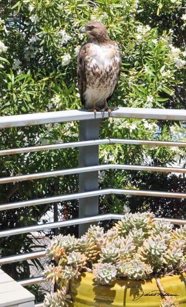 sacred hawk encounter