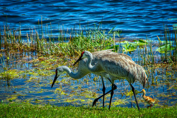 Sandhill Crane Photography Art | Paul J Godin Photography