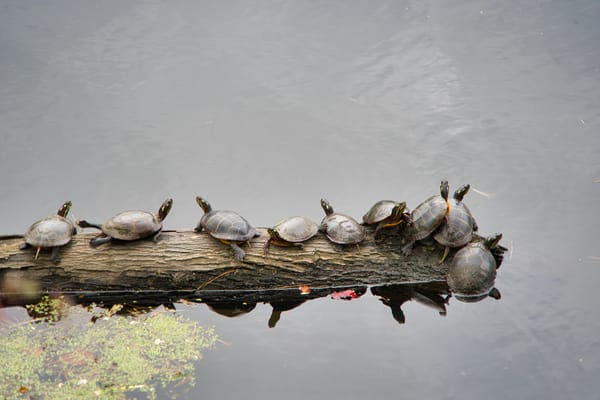 Turtles Photography Art | Paul J Godin Photography