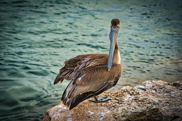 Pelican Photography Art | Paul J Godin Photography