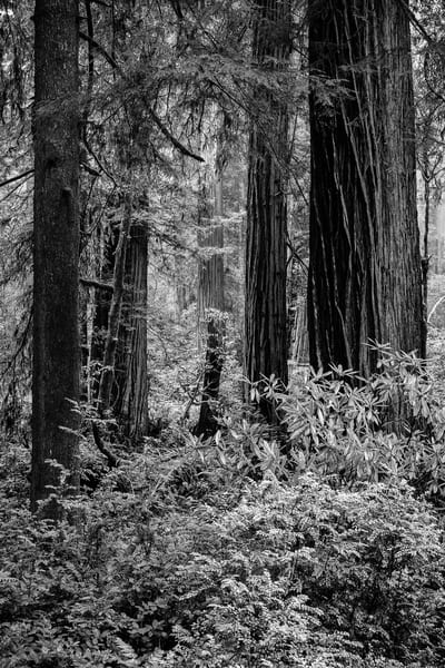 Del Norte Redwood State Forest, California, 2017