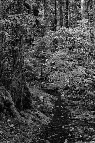 Forest Trail, Snoqualmie Valley, Washington, 2012