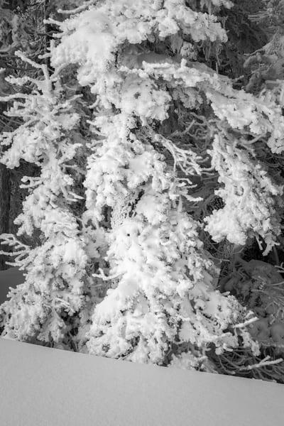 Frozen Tree, Hurricane Ridge, Washington, 2016