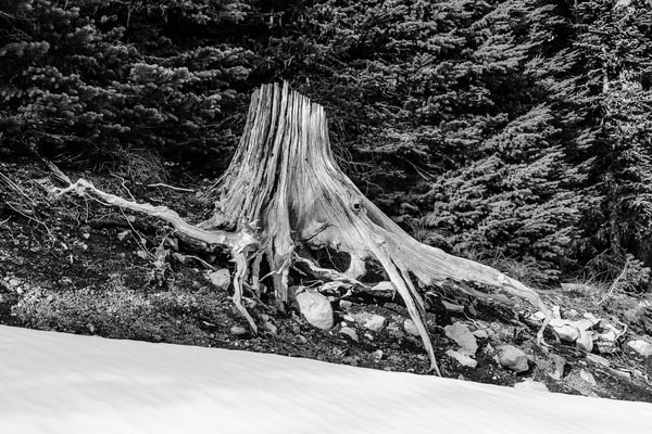 Old Silver Stump, FR1284, Lewis County, Washington, 2017