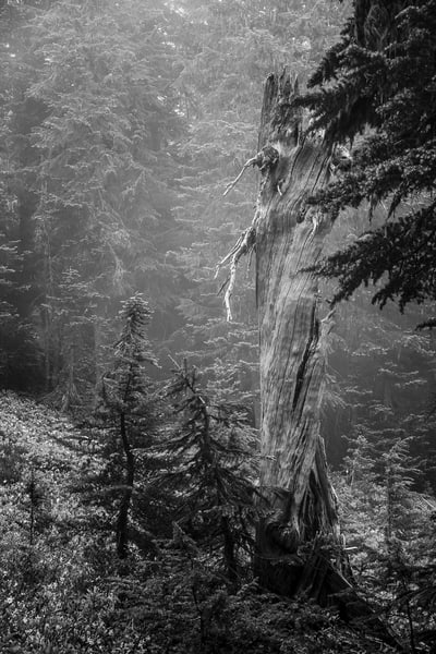 Old Snag, Spray Park, Mount Rainier National Park, Washington, 2017