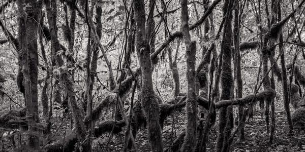 Vine Maples, Federation Forest, Washington, 2011