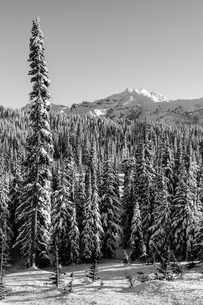 Winter Forest, Paradise, Mount Rainier, Washington, 2017
