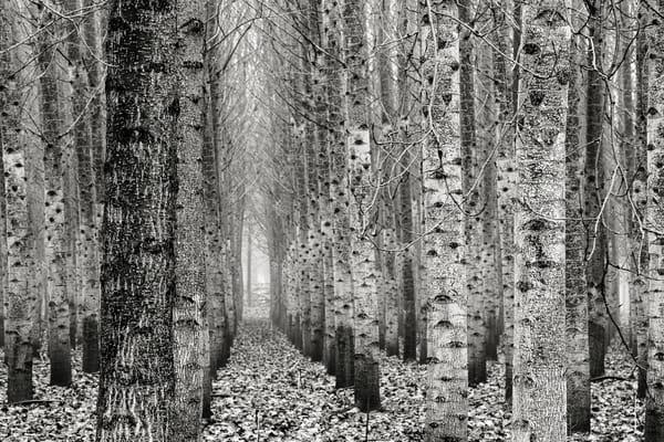 Poplar Tree Plantation, Lewis County, Washington, 2015