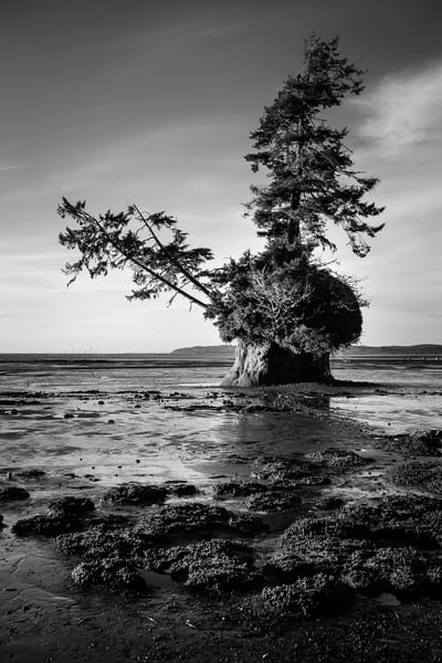 Conifer Island at Low Tide, Willapa Bay, Washington, Winter 2018
