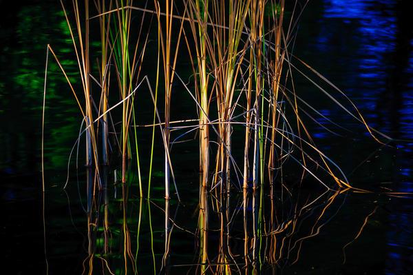 Autumn Reeds, Volunteer Park, Seattle, Washington, 2014
